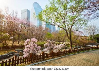 Blooming sakura blossoms flowers in Yeouido Park public park in Seoul, Korea