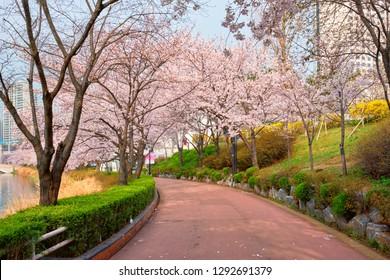 Blooming sakura cherry blossom alley in park in spring, Seokchon lake park, Seoul, South Korea