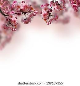 Blooming sakura on the blurred background