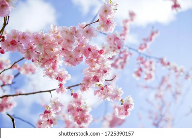 Blooming sakura with pink flowers in spring