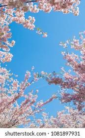 Blooming sakura at spring in Victory park (Uzvaras parks) in Riga, Latvia