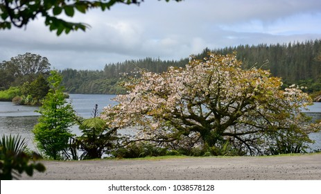 Blooming sakura tree at the bank of Lake Mangamahoe, north island, New Zealand