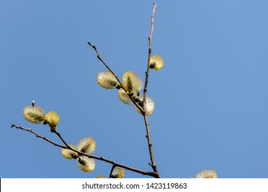 Blooming sallow twig with blue sky in background, picture from Northern Sweden.