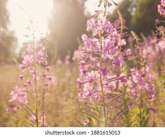 Blooming Sally (Epilobium angustifolium, Willowherb, ivan tea) flowers close up on sunny day