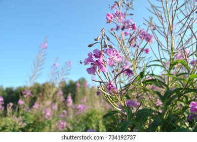 Blooming Sally in the forest glade (Chamaenerion angustifolium)