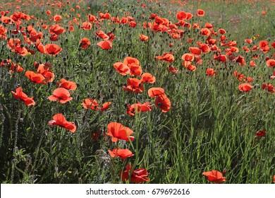 A lot of blooming scarlet poppies against the blue joyous sky. An elegant border of growing bright red poppies in the field against the background of the summer blue sky.