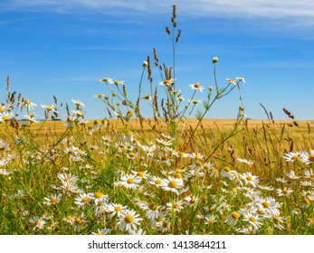 Lot of blooming Scentless Mayweed flowers at a cornfield