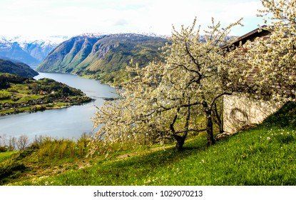 Blooming season in the Hardanger fjord in Norway