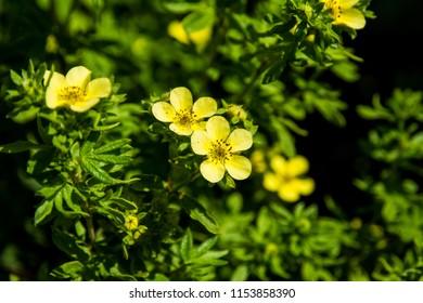 Blooming Slender Cinquefoil (Potentilla gracilis) in the summer garden. Beautiful little yellow flowers Slender Cinquefoil (Potentilla gracilis) in a field