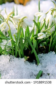 blooming snowdrops. decorative flowers in the garden. primroses