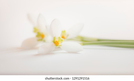 blooming Snowdrops (Galanthus)