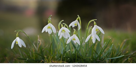 blooming snowdrops with soft green background, spring is coming soon. panorama format.