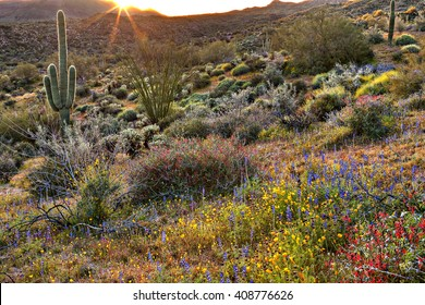 Blooming Sonoran Desert catching day's last rays.