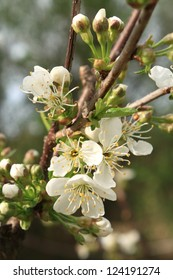 Blooming sour cherry tree