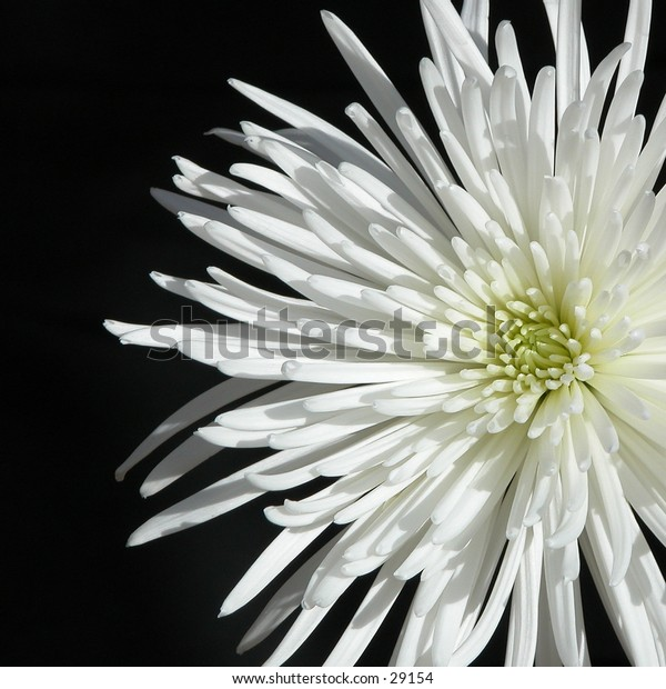 Blooming spider mum set against a black background