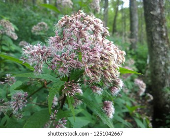Blooming Spotted Joe-Pye Weed Growing Along Forest Trail