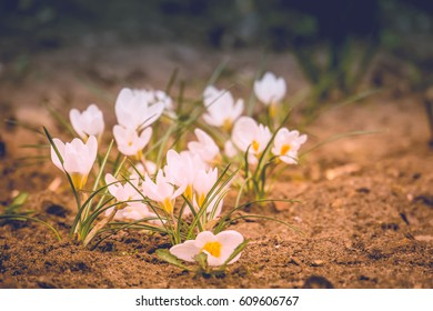 Blooming spring flowers white crocus growing from earth outside, filtered background.