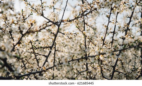 blooming spring gardens. Landscape with beautiful spring flowering trees. Flowering fruit trees. Shallow focus