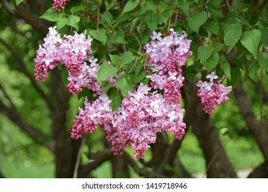Blooming spring lilac flowers in the garden