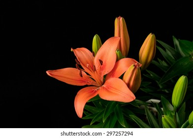 Blooming Spring Lilies Isolated on black background