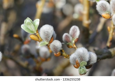 Blooming spring pussy-willow in early spring