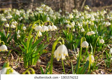 blooming spring snowflakes. first flowers on a forest glade during springtime. Beautiful nature background.