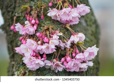 Blooming spring trunk of Sakura. Delicate pink cherry flowers bloom straight from the trunk of a tree. Spring background.
