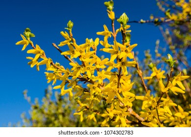 Yellow bush flowers forsythia images stock photos vectors blooming spring yellow shrub flowers forsythia intermedia border forsythia mightylinksfo
