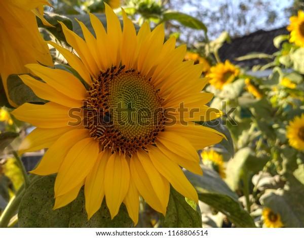 Blooming Sunflower Bunga Matahari Stock Photo Edit Now 1168806514