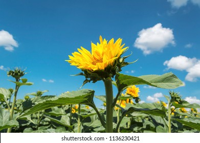 Blooming sunflower crop field on summer day, agricultural concept
