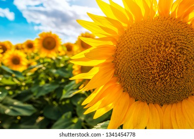 Blooming sunflower crop field on sunny summer day
