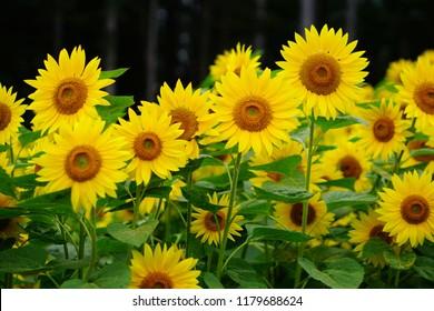 Blooming Sunflower field in Furano Hokkaido