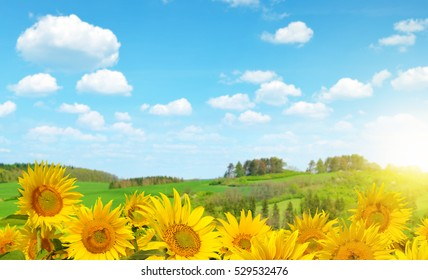 Blooming sunflower field in sunny summer day