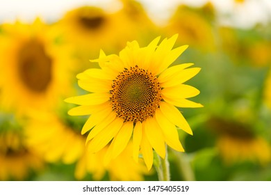 Blooming sunflower field, symbol of smile and happiness