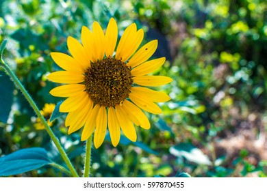 Blooming sunflower in a garden