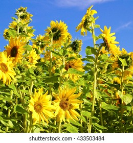 Blooming sunflowers against clear blue sky; Flowering crop plants; Field of sunflowers on sunny day; Agricultural crop