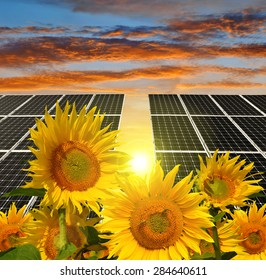Blooming sunflowers in the background solar panels at sunset. Green energy.