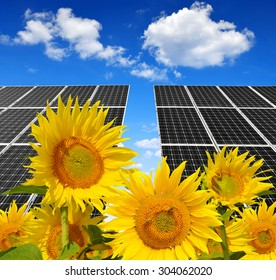 Blooming sunflowers in the background solar panels. Green energy.