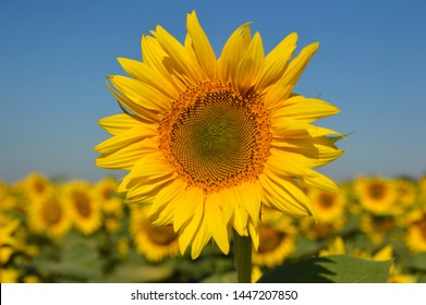 blooming sunflowers in the bright sunny day with blue sky in the background