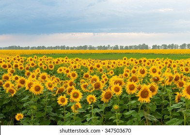 blooming sunflowers field and cloudy sky