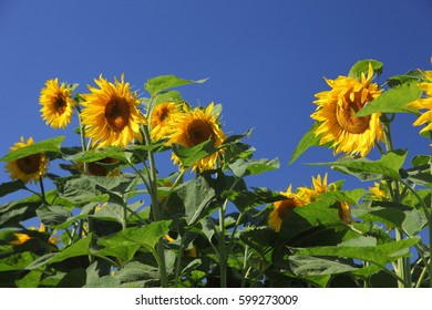 Blooming sunflowers on a background of blue sky.