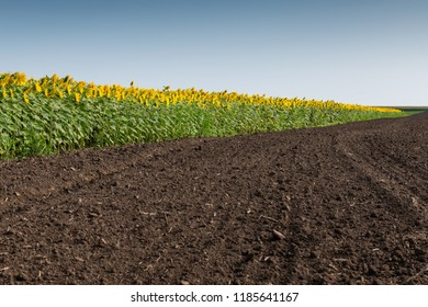 Blooming sunflowers plantation and uncultivated farm land with a blue sky background.