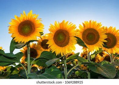 Blooming sunflowers in the summer field and blue sky