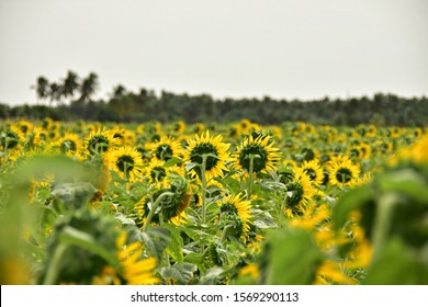 """""""Blooming Sunflowers of Sundharapandiyapuram - An agricultural village in the Tenkasi district of Tamilnadu, South India"""""""