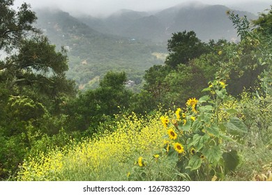 Blooming sunflowers and yellow flowers as fog pours in over the Santa Monica Mountains