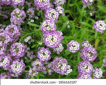 Blooming sweet alyssum Dwarf Purple or Sweet Alice or Sweet Alison (Lobularia maritima, Alyssum maritimum) is clusters of small flowers in purple color .