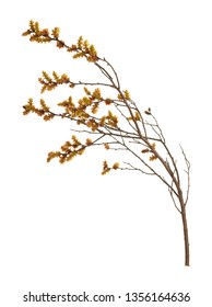 Blooming sweetgale, Myrica gale with catkins isolated on white background