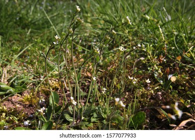 Blooming thale cress ( Arabidopsis thaliana ) plants with blossoms on a wild natural meadow