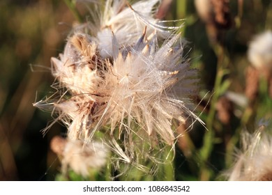Blooming thistle with fluffy florets. Nature abstraction.