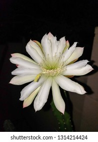 Blooming thornless Cereus cactus with opened white flower ready for pollination night, Phoenix, Arizona